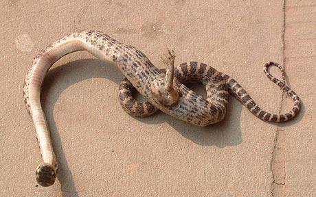 slange-føtter