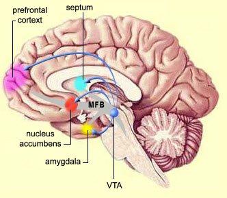 senter styrer hjerne